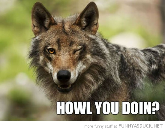 ridiculously photogenic wolf animal wink howl you doing funny pics pictures pic picture image photo images photos lol