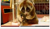 slow loris you tube video comment animal asked kill someone funny pics pictures pic picture image photo images photos lol
