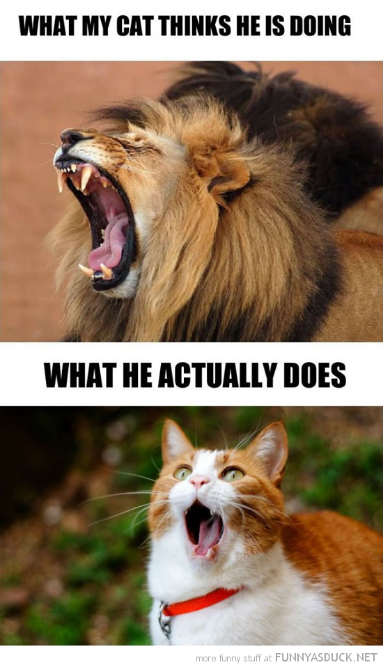 what my cat thinks he looks like animal lion roar funny pics pictures pic picture image photo images photos lol