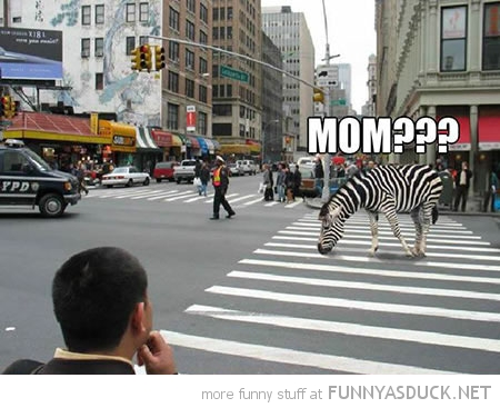 zebra crossing crosswalk animal mom funny pics pictures pic picture image photo images photos lol