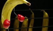 bananas black blue boxing night funny pics pictures pic picture image photo images photos lol