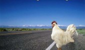 chicken animal crossing road hen what can go wrong funny pics pictures pic picture image photo images photos lol