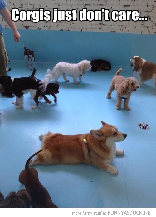 dog animal lying down corgis just don't care  funny pics pictures pic picture image photo images photos lol