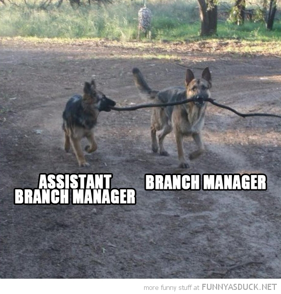 dogs animals holding stick ASSISTANT BRANCH MANAGER funny pics pictures pic picture image photo images photos lol