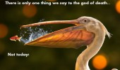 fish jumping out pelicans mouth god death not today animal funny pics pictures pic picture image photo images photos lol
