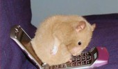 hamster animal sitting mobile phone chair vibrates funny pics pictures pic picture image photo images photos lol