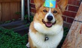 happy corgi dog animal party hat birthday funny pics pictures pic picture image photo images photos lol