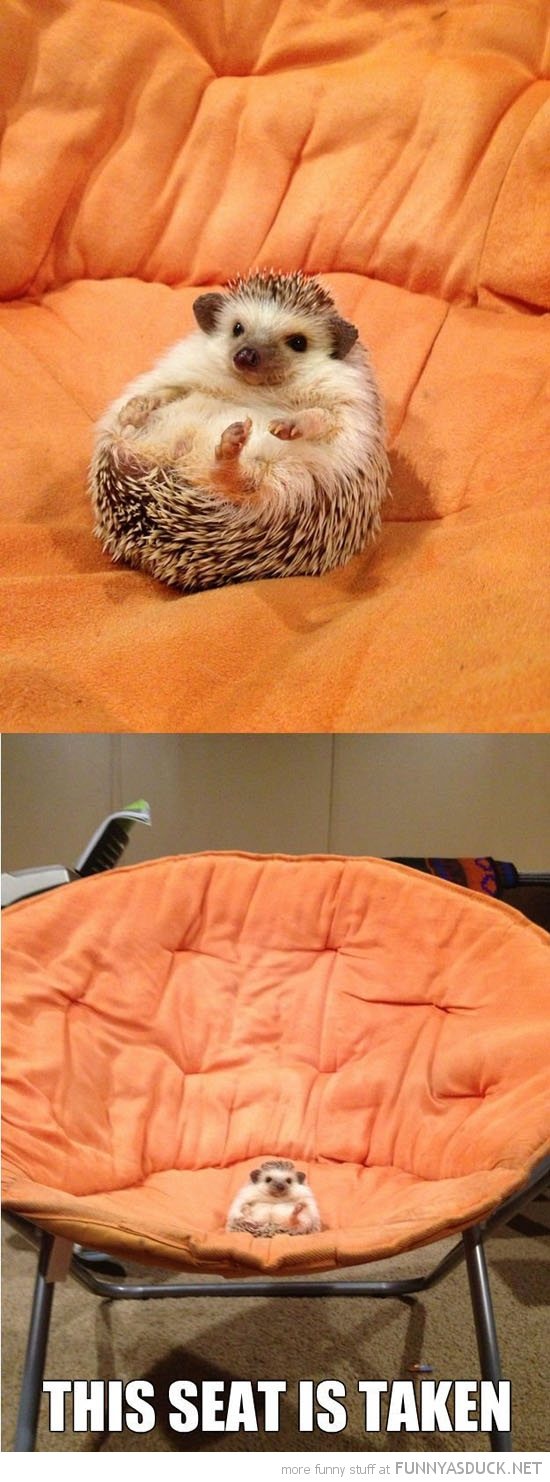 hedgehog animal sitting chair this seat taken cute funny pics pictures pic picture image photo images photos lol