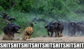 lion animal chased wildebeest shit funny pics pictures pic picture image photo images photos lol