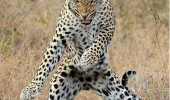 moves like jaguar dancing animal big cat maroon 5 jagger funny pics pictures pic picture image photo images photos lol
