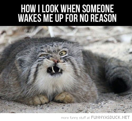ugly crumpy cat lolcat animal how look when somebody wakes me up funny pics pictures pic picture image photo images photos lol