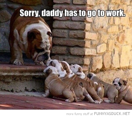 bulldog puppies daddy has to go to work animal funny pics pictures pic picture image photo images photos lol