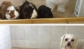 dog guinea pigs animals shower wet betrayed us human funny pics pictures pic picture image photo images photos lol