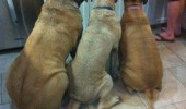 dogs animals waiting food kitchen no matter what we want funny pics pictures pic picture image photo images photos lol