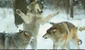 fighting dogs animals lets not get husky funny pics pictures pic picture image photo images photos lol