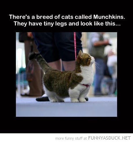 munchkin cat lolcat animal funny pics pictures pic picture image photo images photos lol