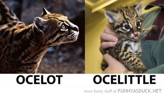 ocelot ocelittle big cats animals cub funny pics pictures pic picture image photo images photos lol
