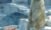 polar bear apples ice animal zoo fuck you guys funny pics pictures pic picture image photo images photos lol
