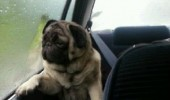 sad reflective pug dog animal car window life so grey funny pics pictures pic picture image photo images photos lol