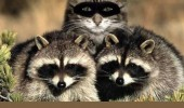 undercover cat lolcat animal raccoon's mask funny pics pictures pic picture image photo images photos lol