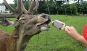 aww yeah deer animal ice cream funny pics pictures pic picture image photo images photos lol