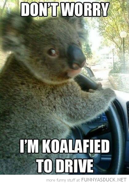 koala bear animal koalified to drive car funny pics pictures pic picture image photo images photos lol