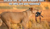 lion animal camera excuse me sir dropped this why running funny pics pictures pic picture image photo images photos lol