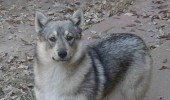 swedish vallhund dog wolf corgis animal funny pics pictures pic picture image photo images photos lol