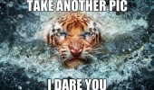 angry tiger animal take another i dare you funny pics pictures pic picture image photo images photos lol