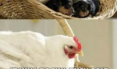 chicken hen wake up basket puppy dogs animal beer funny pics pictures pic picture image photo images photos lol