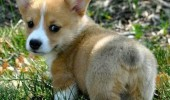 cute corgi puppy dog look at my fuzzy butt funny pics pictures pic picture image photo images photos lol
