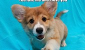 i love you dog puppy corgi peed couch funny pics pictures pic picture image photo images photos lol