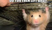 do you even lift bro hamster animal funny pics pictures pic picture image photo images photos lol