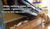 dog looking bones under couch buy another animal funny pics pictures pic picture image photo images photos lol