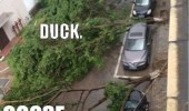 duck goose fallen trees cars street funny pics pictures pic picture image photo images photos lol
