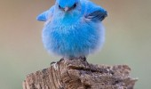 fat blue bird happiness animal twitter over capacity funny pics pictures pic picture image photo images photos lol