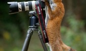 fox animal camera this time make funny face funny pics pictures pic picture image photo images photos lol