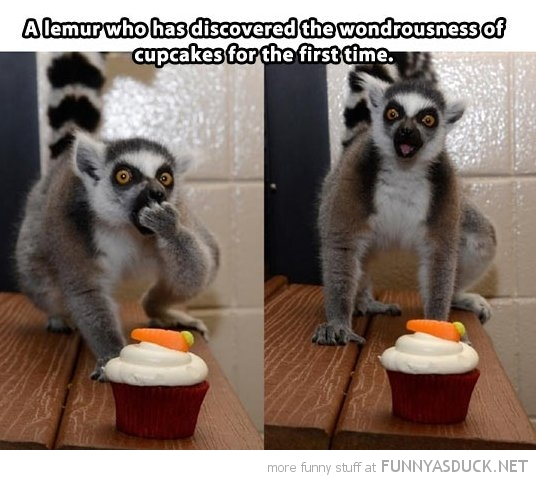 lemur eating cupcakes animal funny pics pictures pic picture image photo images photos lol