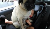 pug dog animal sitting baby just got comfy funny pics pictures pic picture image photo images photos lol