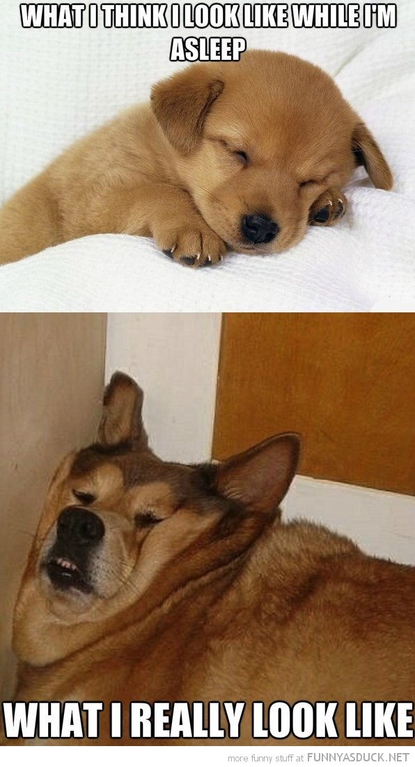 puppy dog animal sleeping how i think i look funny pics pictures pic picture image photo images photos lol