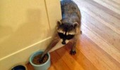 raccoon stealing food cat bowl animal meow  funny pics pictures pic picture image photo images photos lol