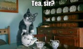 tea sir cat lolcat animal funny pics pictures pic picture image photo images photos lol