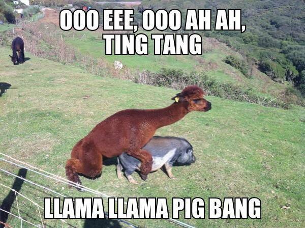 Llama Pig Bang
