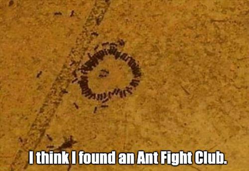 Ant Fight Club