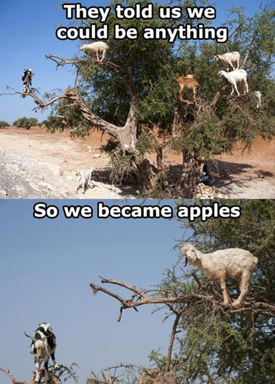 Apple Goats
