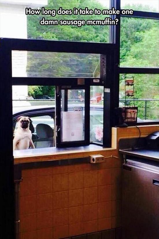 Impatient Pug